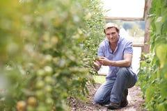 Portret Sprawdza Pomidorowe rośliny W szklarni rolnik obraz stock