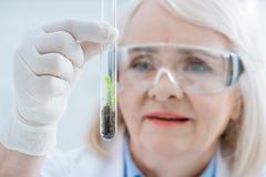 Portret starszy kobieta naukowiec analizuje rośliny w szklanej próbnej tubce obraz stock
