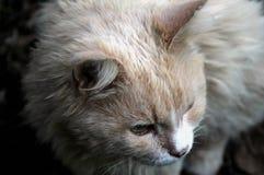Portret stary domowy kot obrazy stock