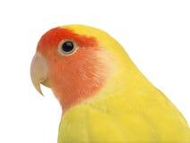 Portret Stawiający czoło Lovebird Zdjęcia Royalty Free