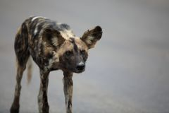 Portret swobodnie wędrować afrykańskiego dzikiego psa Zdjęcia Royalty Free