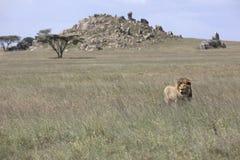 Portret swobodnie wędrować afrykańskiego lwa Zdjęcia Royalty Free