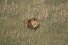 Portret swobodnie wędrować afrykańskiego lwa Fotografia Stock