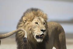 Portret swobodnie wędrować afrykańskiego lwa Obraz Royalty Free