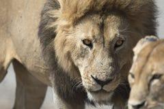 Portret swobodnie wędrować afrykańskiego lwa Zdjęcie Stock