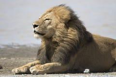 Portret swobodnie wędrować afrykańskiego lwa Obrazy Stock