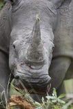 Portret swobodnie wędrować białą afrykańską nosorożec Zdjęcie Stock