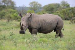 Portret swobodnie wędrować białą afrykańską nosorożec Zdjęcia Royalty Free