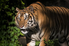 Portret Syberyjski tygrys fotografia stock