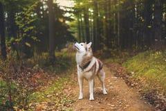Portret Syberyjskiego husky psa pozycja w tajemniczym spadku lesie fotografia royalty free