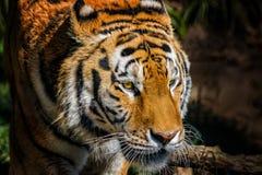 Portret Syberyjskiego tygrysa głowa Syberyjscy tigerlives w Daleki Wschód, szczególnie północny wschód Chiny i obrazy stock