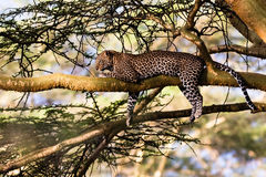 Portret sypialny lampart na drzewie Nakuru zdjęcie stock