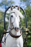 Portret szary kareciany napędowy koń Obraz Royalty Free