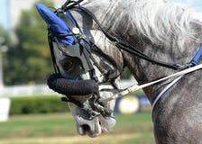 Portret szary koński kłusaka traken w ruchu na hipodromu obraz stock