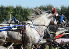Portret szary koński kłusaka traken w ruchu na hipodromu fotografia royalty free