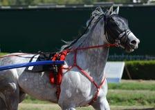 Portret szary koński kłusaka traken w ruchu na hipodromu zdjęcie royalty free