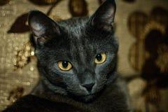 Portret szary kot Obraz Royalty Free