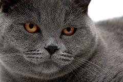 Portret szary kot z żółtymi oczami Obrazy Stock