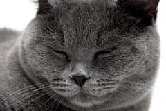 Portret szary kota dosypianie Fotografia Stock