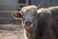 Portret szary krowa byk Zdjęcie Royalty Free