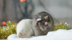 Portret szarzy szczurów obmycia zdjęcie wideo