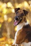 Portret szczęście foxterrier szczeniak Fotografia Royalty Free