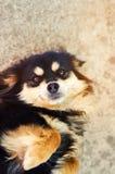 Portret szczęśliwy czarny pies który kłama na podłoga i ono uśmiecha się obrazy stock