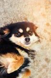 Portret szczęśliwy czarny pies który kłama na podłoga i ono uśmiecha się fotografia royalty free