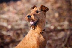 Portret szczęśliwy Irlandzkiego Terrier zbliżenie Zdjęcia Royalty Free