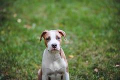 Portret szczeniak Amerykański Staffordshire Terrier Fotografia Royalty Free