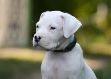 Portret szczeniak Dogo Argentino w trawie zdjęcia stock