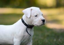 Portret szczeniak Dogo Argentino w trawie fotografia royalty free