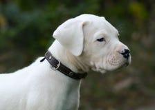 Portret szczeniaka Dogo Argentino obsiadanie w trawie zdjęcie stock