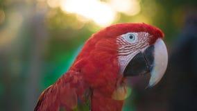 Portret szkarłatna ara fotografia stock
