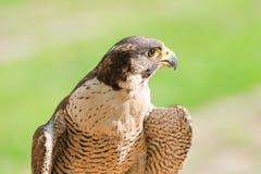 Portret szybki dziki ptak zdobycza jastrząb lub jastrząbek Fotografia Royalty Free