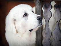 Portret Tatrzański Pasterski pies Zdjęcie Stock