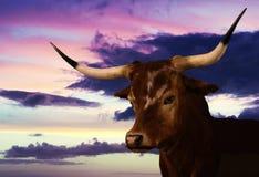 Portret Teksas longhorn przy zmierzchem zdjęcie royalty free