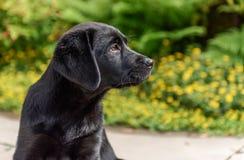 Portret 9 tygodni Labrador Retriever stara czarna ciucia obraz royalty free