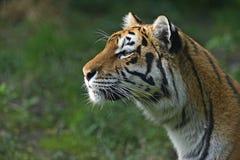 Portret tygrys zdjęcie royalty free