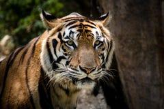 Portret tygrysi ostrzeżenie i gapić się przy kamerą obrazy royalty free