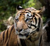 Portret tygrysi ostrzeżenie i gapić się przy kamerą zdjęcie stock