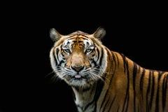 Portret tygrysi ostrzeżenie i gapić się przy kamerą zdjęcie royalty free