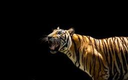 Portret tygrysi ostrzeżenie i gapić się przy kamerą obraz stock
