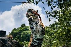Portret tygrysi ostrzeżenie i gapić się przy kamerą obrazy stock
