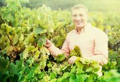 Portret uśmiechnięty mężczyzna blisko winogron w winnicy Zdjęcia Royalty Free