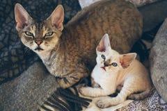Portret urocza Devon Rex kota matka z jej małą dziecko figlarką kłaść w dół na łóżku wpólnie Obrazy Royalty Free