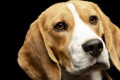 Portret uroczy Beagle Zdjęcia Stock