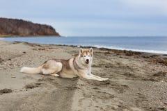 Portret uroczy i bezpłatny siberian husky psa lying on the beach na piasek plaży na dennym przodzie obraz royalty free