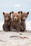 Portret uroczy mali niedźwiedzie fotografia royalty free