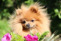 Portret uroczy pomeranian pies z różowymi kwiatami w lecie na natury zieleni tle Zdjęcia Stock